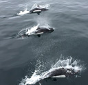A group of Dall's porpoise bow-riding. Photo by Michael Giskin.