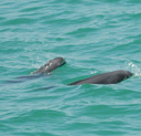 Two finless porpoise in Thailand. Picture by Sulakkhana Suthumma.