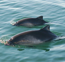 A harbour porpoise mother and calf. Picture by Danielle Dion.