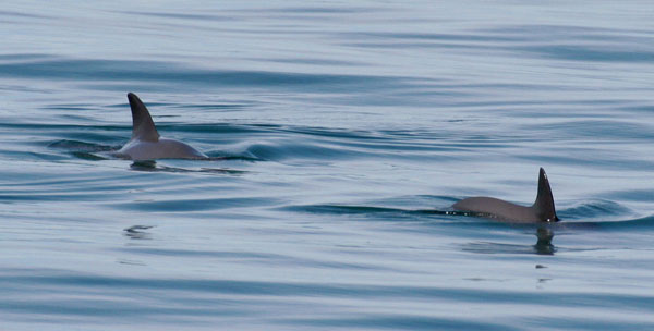 Vaquita. Photo by Paula Olson, NOAA.
