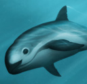 A digital painting of a pair of vaquita, mother and calf by Amber Marine.
