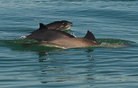 A group of harbour porpoise. Photo credit: Danielle Dion.