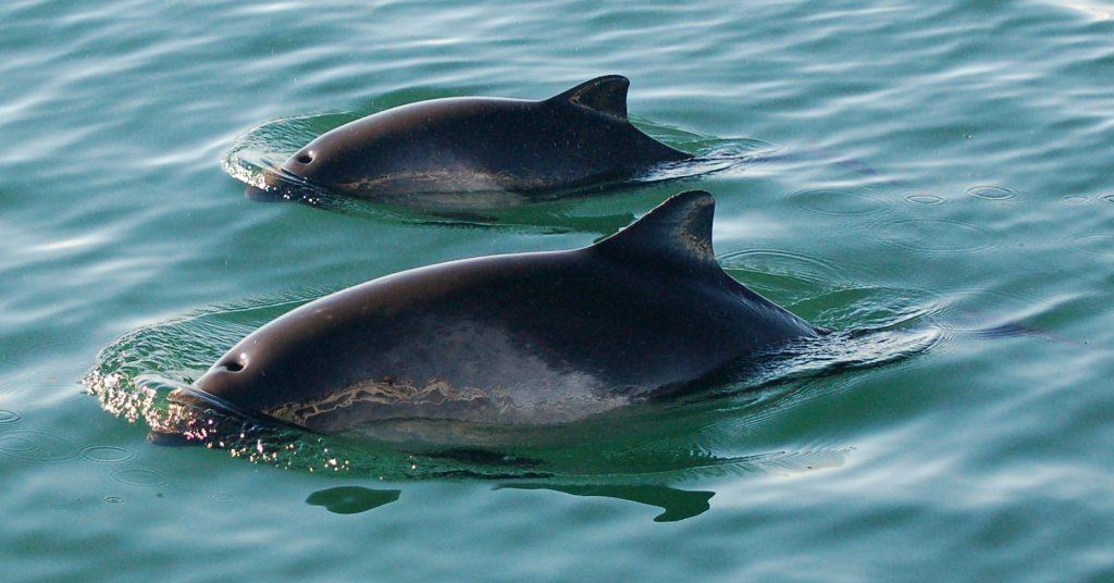 Harbor porpoise - photo#17