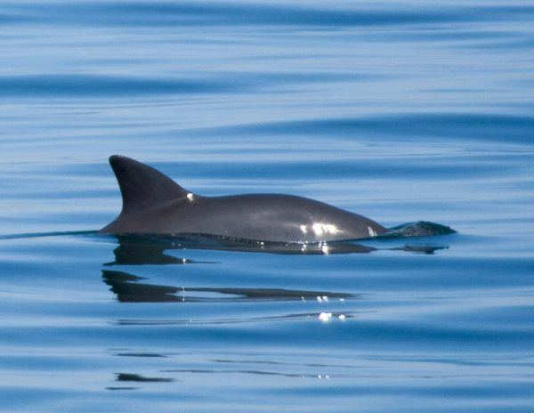 Vaquita on the surface, Photo by Chris Johnson