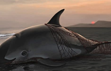 """Despedida Vaquita"" - Painting of a stranded vaquita by Frédérique Lucas. Entanglement from illegal fisheries with gill-nets in the Sea of Cortez remains the primary threat for the species' dramatic decline. Less than 60 animals remain."