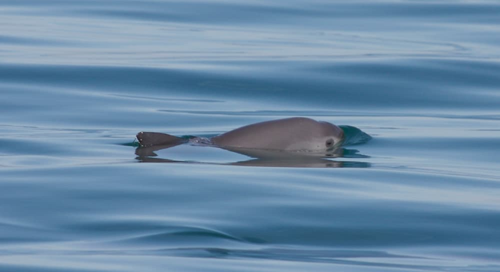 Single vaquita surfacing. Picture by Thomas Jefferson.