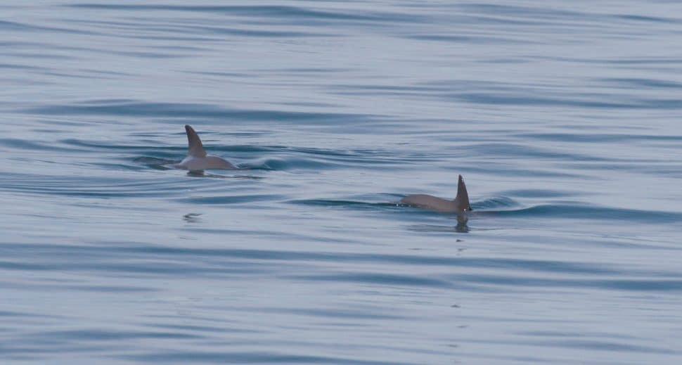 Two vaquita surfacing